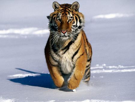 tigre-siberia.jpg